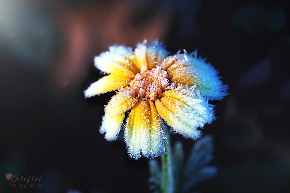frostblumelogosk
